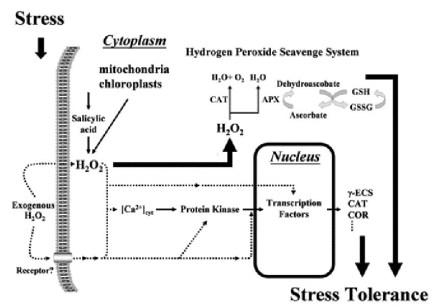 glutathione and stress tolerance.JPG